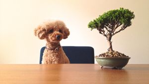How Big Does a Toy Poodle Get?