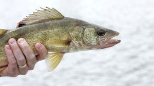 What is the biggest walleye ever caught?