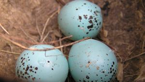 How do birds lay eggs?