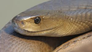 What Does a Black Mamba Eat?