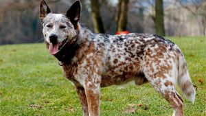 What Is a Blue Tick Heeler?