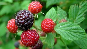 What Is a Brambleberry?