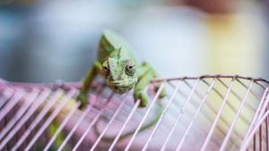 How Long Can Chameleons Live Without Food