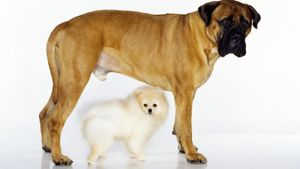 What does a bull mastiff look like?