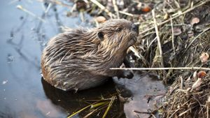 What Do You Call a Baby Beaver?