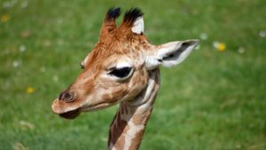 What Do You Call a Baby Giraffe?