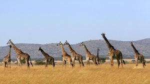 What Do You Call a Group of Giraffes?