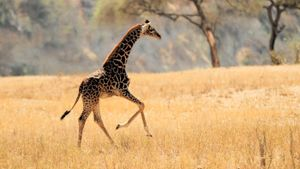 Can Giraffes Jump?