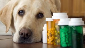 Can I Give My Dog a Pain Reliever?