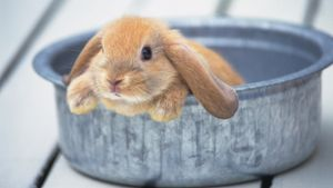 Can You Give a Rabbit a Bath?