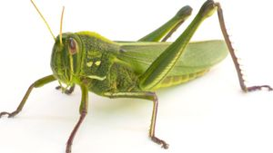 Can a Grasshopper's Legs Grow Back?