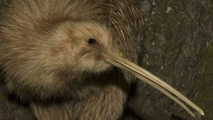 Can a Kiwi Bird Fly?