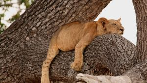 Can Lions Climb Trees?