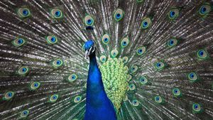 Can Peacocks Fly?