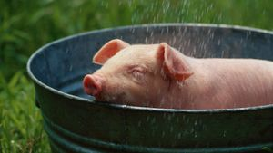 Can Pigs Swim?