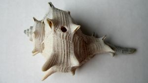 How Can You Put a Hole in a Seashell to Hang It Up?