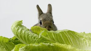 Can rabbits eat lettuce?