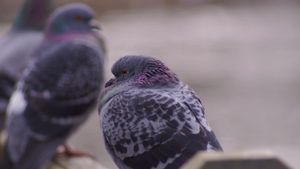 How can you tell if a pigeon is male or female?