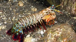 How Do You Care for Mantis Shrimp?