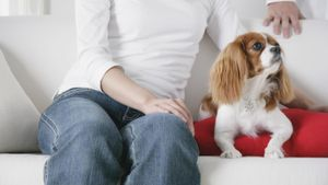 Do Cavalier King Charles Spaniels Shed?