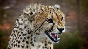 How Does a Cheetah Defend Itself?