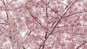 What is the cherry blossom's meaning?