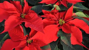 What are some Christmas flower arrangements?