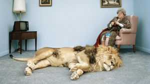How closely related is a domestic cat to a lion?