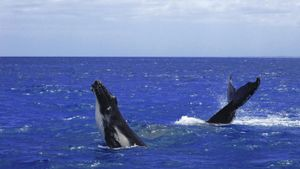 What Is the Collective Noun for a Group of Whales?