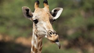 What Color Is a Giraffe's Tongue?