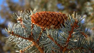 What Is a Colorado Blue Spruce?