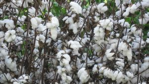 How is cotton picked?