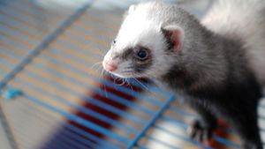 How do you create a ferret care sheet?