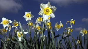 What do you do with daffodils after they flower?