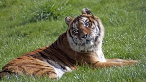 Where Did the Bengal Tiger Get Its Name?