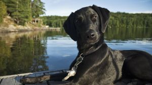 Where Did Black Labs Come From?