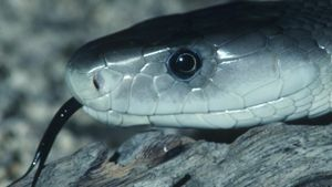 Where Did the Black Mamba Snake Get Its Name?