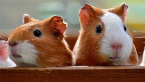 Where did guinea pigs get their name?
