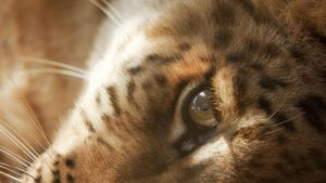 What Is the Difference Between a Liger and a Tigon?