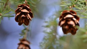 What Is the Difference Between Male and Female Pine Cones?