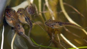 What Is the Difference Between Tadpoles and Polliwogs?