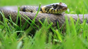 Do Grass Snakes Bite?