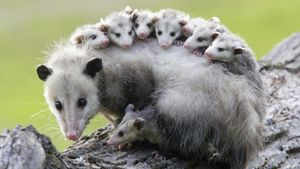 Do Possums Sleep Upside Down?