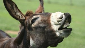 Why Do Donkeys Bray?