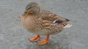 Why Do Ducks Have Webbed Feet?