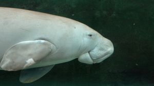 What Are Dugongs?