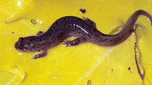 What Is a Dusky Salamander?