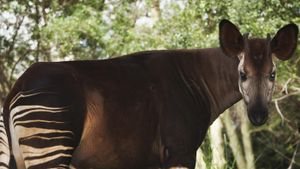 What Eats the Okapi?