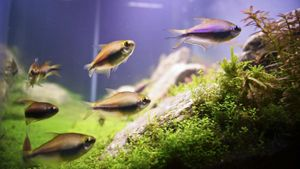What Is an Emperor Tetra?