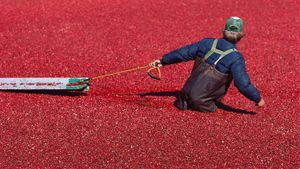 How Do Farmers Harvest Cranberries?